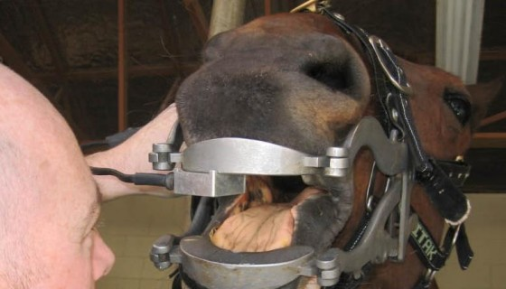 Equine Dental Services